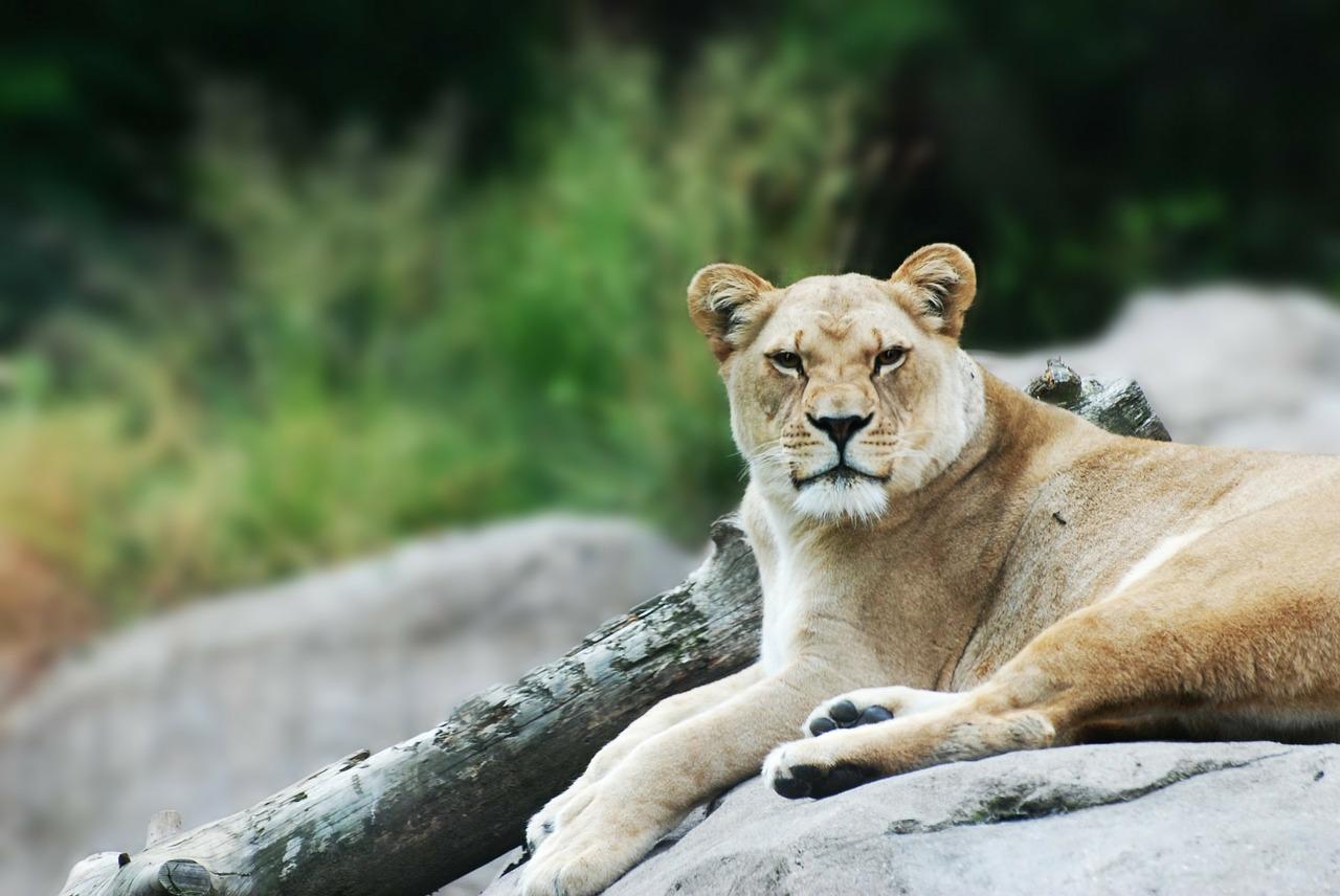 lioness-164399_1280