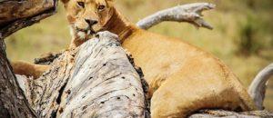 lion-280500_960_720