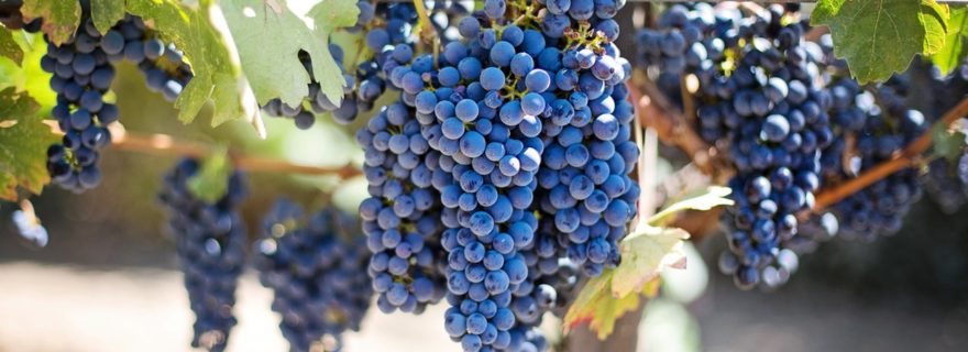 purple-grapes-vineyard-napa-valley-napa-vineyard-45209